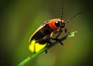 firefly-pics